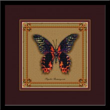 Бабочка Papilio Rumanzovia (коллекция бабочек)