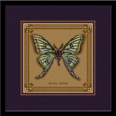 Бабочка Graellsia Isabellae (коллекция бабочек)